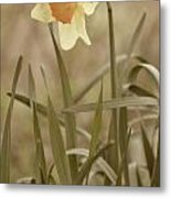 The Daffodil In Partial Sepia Metal Print