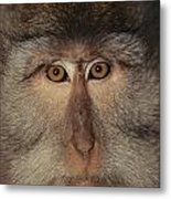 The Face Of A Long-tailed Macaque Metal Print