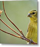 The Finch  Metal Print
