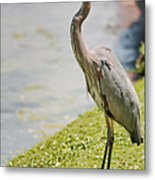 The Great Blue Heron Metal Print
