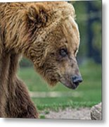 The Grizzly In Spring Metal Print