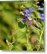 The Hummers Muzzle  Metal Print