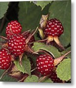 The Invasive Wine Berry And Shield Bugs Metal Print
