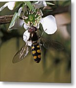 The Jewel Like Eyes, Transparent Wing Metal Print