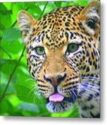The Leopard's Tongue Metal Print