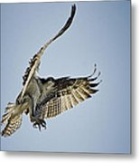 The Magnificent Osprey  Metal Print