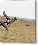 The Mallard Ducks Flight Metal Print