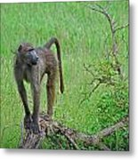 The Mighty Baboon Metal Print