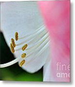 The Naked Lady - Hippeastrum Metal Print