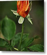 The Orange Rose Metal Print