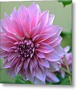 The Pink Dahlia-flower2 Metal Print