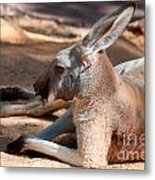 The Resting Roo Metal Print