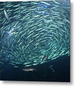 The School Fish Metal Print