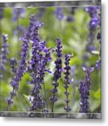 The Smell Of Lavender  Metal Print