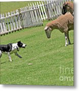 The Stare - Border Collie At Work Metal Print