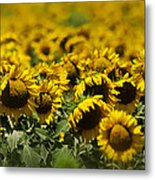 The Sunflower Patch II Metal Print by Lisa Moore