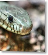 The Western Green Mamba Metal Print by JC Findley