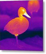 Thermogram Of A Cinnamon Teal Duck Metal Print