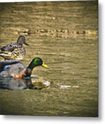 Thin Ice Wet Duck Metal Print