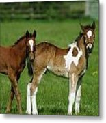 Thoroughbred Foal And Half-breed Metal Print
