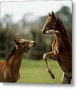 Thoroughbred Foals Playing Metal Print