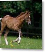 Thoroughbred Horse, National Stud Metal Print