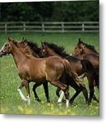 Thoroughbred Horses, Ireland Metal Print