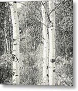 Three Aspen Trees Metal Print