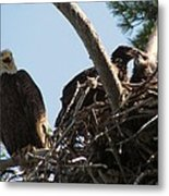 Three Bald Eagles In The Nest Metal Print by Mitch Spillane