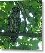 Three Barred Owls Metal Print