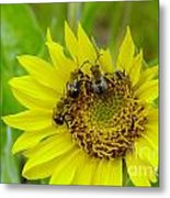 Three Bees Hunkering Down Metal Print