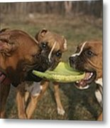 Three Boxer Dogs Play Tug-of-war Metal Print by Roy Gumpel