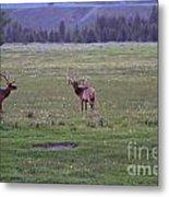 Three Bull Elk Metal Print