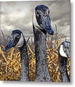 Three Canada Geese In An Autumn Cornfield Metal Print