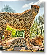 Three Cheetahs Metal Print