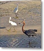 Three Egrets Metal Print