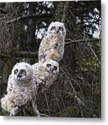 Three Great Horned Owl Bubo Virginianus Metal Print
