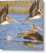 Three Pelicans Taking Off Metal Print