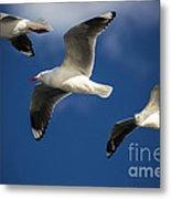 Three Silver Gulls Metal Print