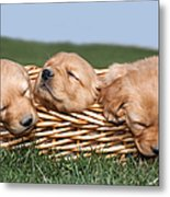Three Sleeping Puppy Dogs In Basket Metal Print by Cindy Singleton
