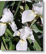 Three White Iris Metal Print