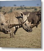 Three White Rhinos Line Up In Solio Metal Print