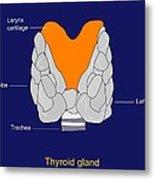 Thyroid Gland, Artwork Metal Print by Francis Leroy, Biocosmos