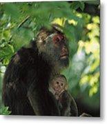 Tibetan Macaque Nursing Baby Metal Print