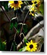 Tickseed Sunflowers Metal Print