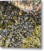 Tidal Pool With Rockweed Metal Print