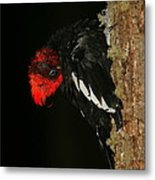 Tidying Up - Magellanic Woodpecker Preening Metal Print