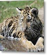 Tiger Cub In A Puddle Metal Print