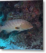 Tiger Grouper Swimming Along The Bottom Metal Print