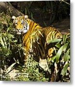Tiger In The Rough Metal Print